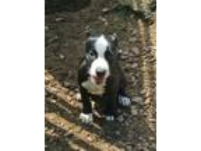 Adopt Domino a Pointer, Mixed Breed