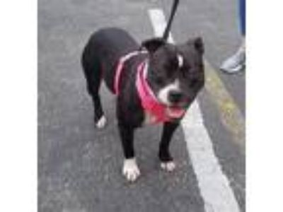 Adopt Lil Momma a Black - with White American Pit Bull Terrier / Mixed dog in