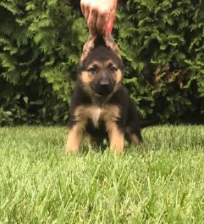 German Shepherd Dog PUPPY FOR SALE ADN-95682 - Amazing AKC German  Shepherd Puppies