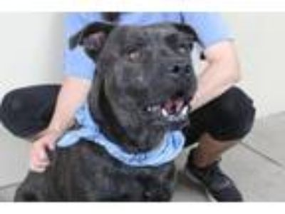 Adopt Captain Jack a Brindle American Staffordshire Terrier / Mixed dog in