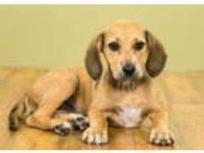 Adopt Tess a Hound, Mixed Breed