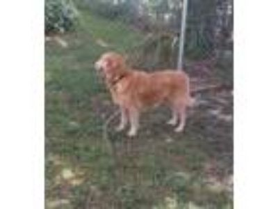 Adopt Mayah a Red/Golden/Orange/Chestnut Golden Retriever / Mixed dog in