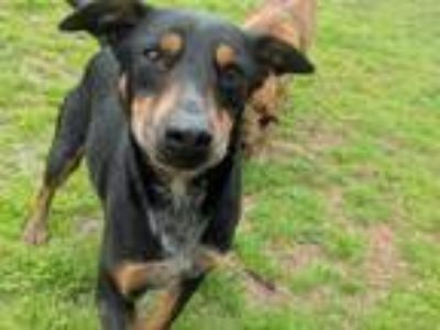 Adopt George a German Shepherd Dog