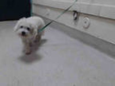 Adopt a White Poodle (Miniature) / Mixed dog in Pasadena, CA (25460316)