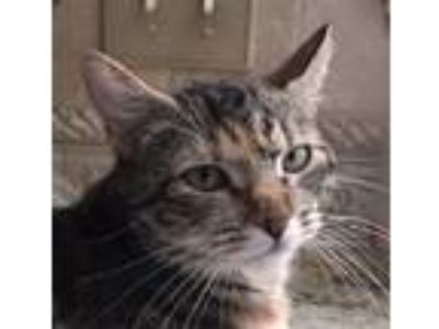 Adopt Samantha a Domestic Shorthair / Mixed (short coat) cat in Mobile