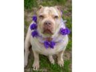 Adopt Peggy Sue a White - with Tan, Yellow or Fawn American Staffordshire