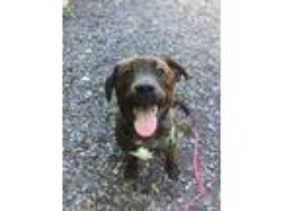 Adopt Dale a Brindle - with White American Staffordshire Terrier / Mixed dog in