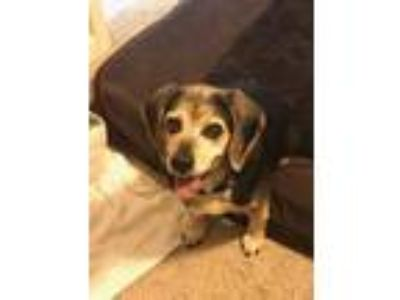 Adopt Shyla a Tricolor (Tan/Brown & Black & White) Beagle / Mixed dog in