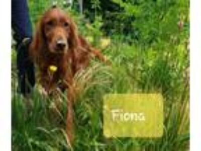 Adopt FIONA a Red/Golden/Orange/Chestnut Irish Setter / Mixed dog in Tacoma