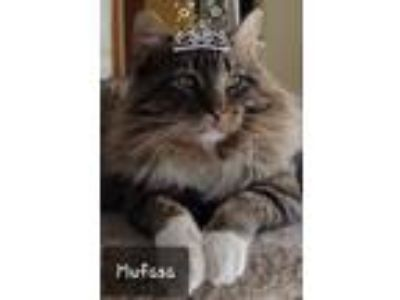 Adopt Mufasa a Brown Tabby Domestic Mediumhair (medium coat) cat in Roseville