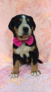 Greater Swiss Mountain Dog PUPPY FOR SALE ADN-93387 - AKC Greater Swiss Mountain Dog Puppy
