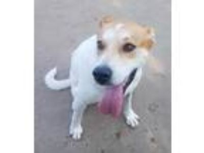 Adopt Lucy a White - with Tan, Yellow or Fawn Labrador Retriever / Cattle Dog /
