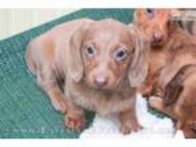 Amy - Isabella based red female WIREHAIR