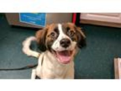 Adopt Toby a Welsh Springer Spaniel / Mixed dog in Oceanside, CA (25254178)