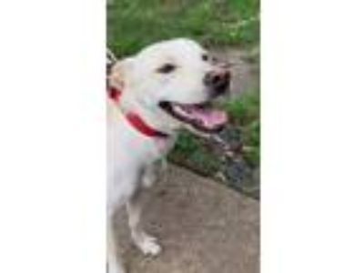 Adopt Flocko a White Labrador Retriever / Mixed Breed (Medium) / Mixed dog in