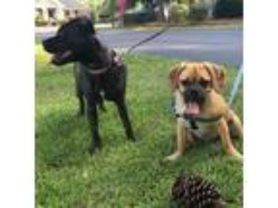 Adopt Crash/Moglie a Tan/Yellow/Fawn Pug / Beagle / Mixed dog in Beaufort