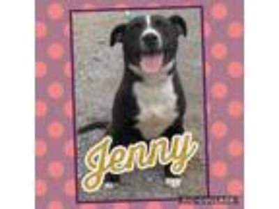 Adopt Jenny a Border Collie, Pit Bull Terrier