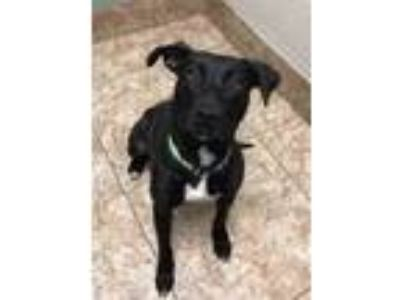 Adopt Abbey a Black Labrador Retriever / Mixed dog in DeKalb, IL (24920809)
