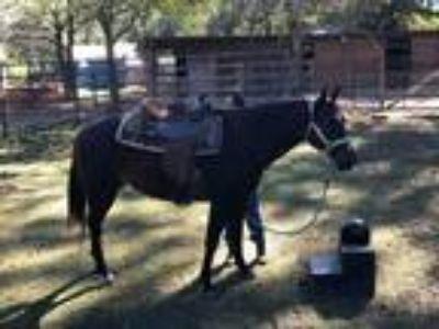 Adopt Cheyenne II a Bay Quarterhorse horse in Cantonment, FL (23888707)
