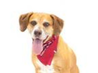 Adopt RED a Brown/Chocolate - with White Catahoula Leopard Dog / Mixed dog in