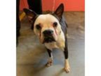 Adopt RHUE a Boston Terrier, Mixed Breed