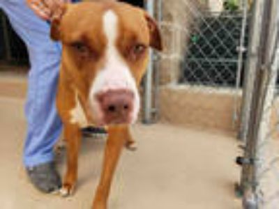 Adopt COOPER a Red/Golden/Orange/Chestnut - with White American Pit Bull Terrier