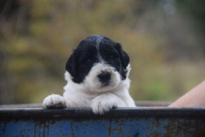 Pyredoodle PUPPY FOR SALE ADN-92729 - F1 Pyredoodles