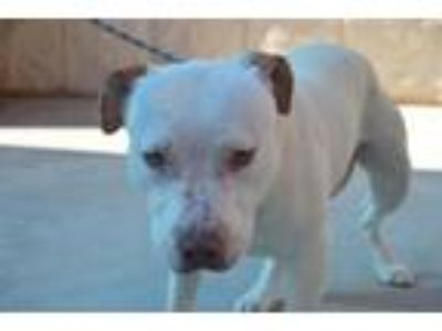 Adopt Bodie a Pit Bull Terrier, Mixed Breed