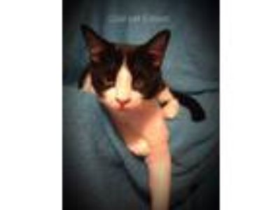 Adopt Edison a Black & White or Tuxedo Domestic Shorthair (short coat) cat in