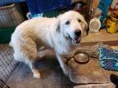 Adopt Chevelle a White Great Pyrenees / Mixed dog in Statewide, TX (25354044)