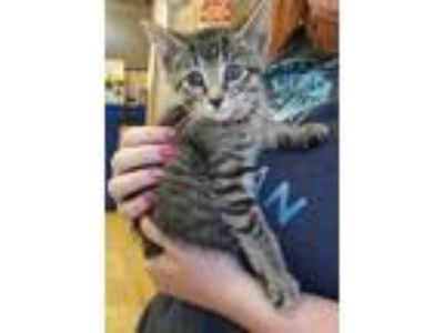 Adopt Birdie a Tiger Striped Domestic Shorthair (short coat) cat in Albion