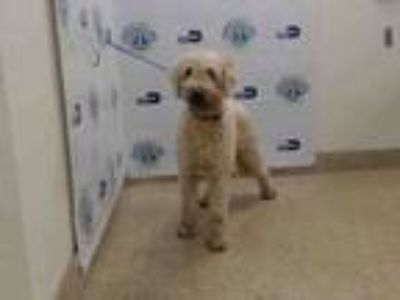 Adopt CURLY a Golden Retriever, Poodle
