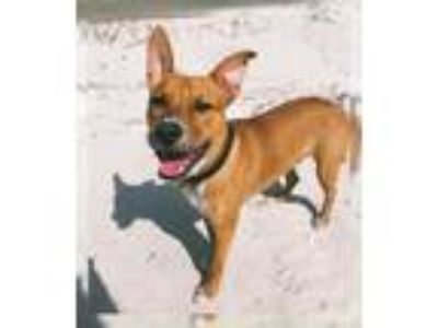 Adopt Pork a Red/Golden/Orange/Chestnut German Shepherd Dog / Boxer dog in