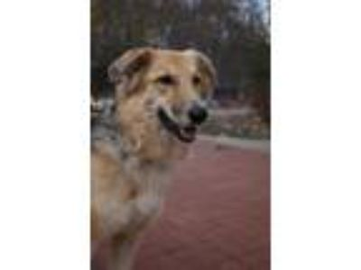 Adopt Turtle a German Shepherd Dog