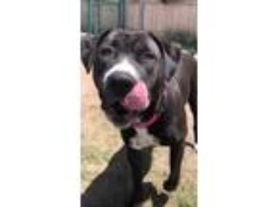 Adopt Sookie a Pit Bull Terrier
