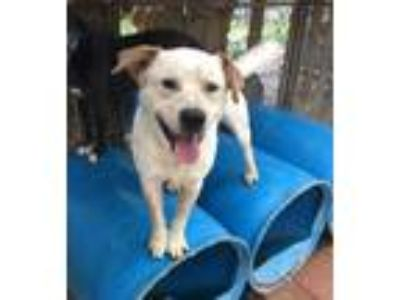 Adopt Chevy a Australian Cattle Dog / Blue Heeler