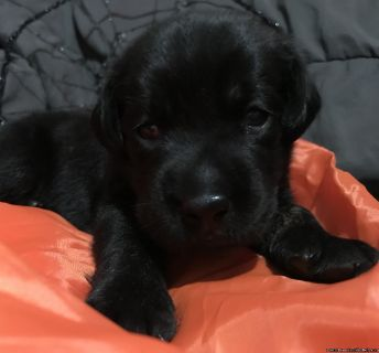 AKC Black Labrador puppy