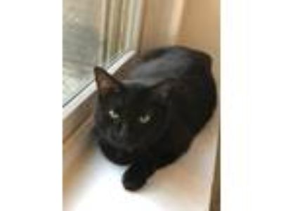 Adopt Beauty a Domestic Shorthair / Mixed (short coat) cat in Bourbonnais
