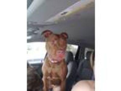 Adopt Margie a Red/Golden/Orange/Chestnut Bull Terrier dog in Lansing