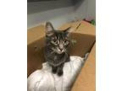 Adopt Tungsten a Gray or Blue Domestic Shorthair / Domestic Shorthair / Mixed