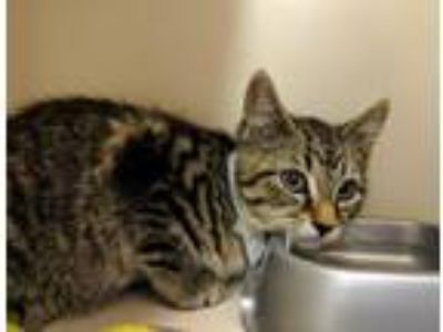 Adopt Scarlet a Domestic Short Hair, Tabby