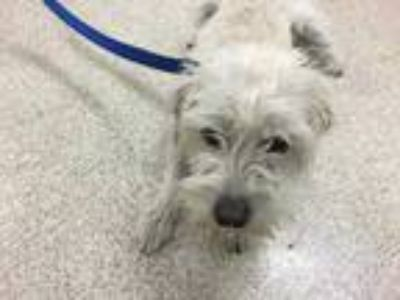 Adopt Dog a White Terrier (Unknown Type, Medium) / Mixed dog in Jurupa Valley