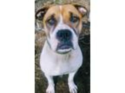 Adopt Bulma a White - with Brown or Chocolate American Pit Bull Terrier / Boxer