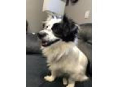 Adopt Patches a Border Collie