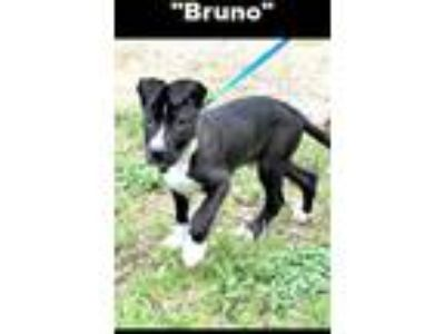 Adopt Bruno a Pit Bull Terrier / Mixed dog in Denison, TX (25331075)