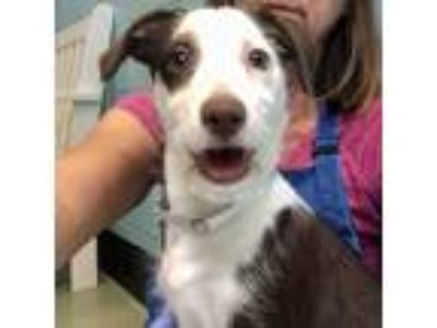 Adopt Cricket a White - with Brown or Chocolate Jack Russell Terrier / Mixed dog