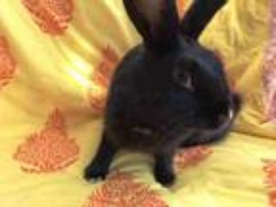 Adopt MAPLE a Bunny Rabbit