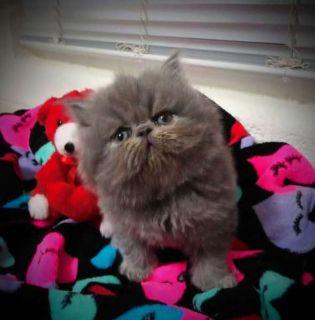 Adorable CFA-Registered Persian Kitten For Sale