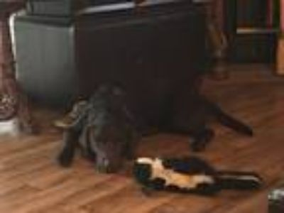 Adopt Marlin a Brown/Chocolate German Shorthaired Pointer / Mixed dog in
