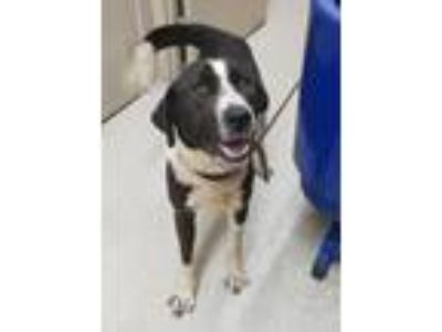 Adopt Lady a White - with Black Labradoodle / Collie / Mixed dog in Albemarle